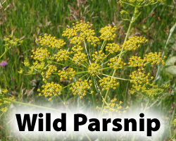 WildParsnip.png